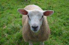Pecore bianche adorabili in un campo in Irlanda Fotografie Stock