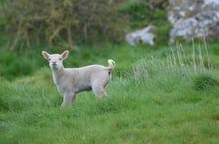 Pecore bianche adorabili in una posizione a distanza Immagini Stock