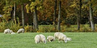 Pecore bianche in autunno Fotografie Stock Libere da Diritti