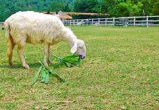 Pecore bianche che mangiano erba in azienda agricola Immagine Stock