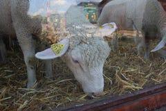 Pecore bianche che mangiano fieno in granaio Fotografia Stock Libera da Diritti