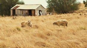 Pecore bianche che pascono Fotografia Stock