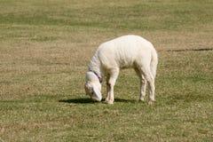 Pecore bianche che pascono nell'azienda agricola del campo Immagini Stock Libere da Diritti