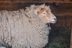 Pecore bianche che si trovano nel granaio di legno Pecora sveglia con lana bianca Concetto dell'azienda agricola di bestiame Fond fotografie stock libere da diritti