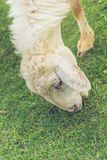 Pecore bianche con i pascoli spessi dell'allevamento di animali da pelliccia Immagine Stock