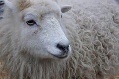 Pecore bianche con un cappotto di inverno Fotografie Stock
