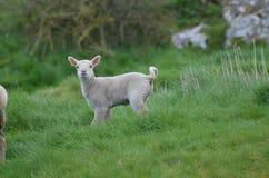 Pecore bianche curiose in un campo in Irlanda Fotografia Stock