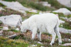 Pecore bianche del Big Horn - Rocky Mountain Goat Immagini Stock