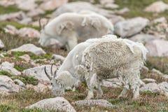 Pecore bianche del Big Horn - Rocky Mountain Goat Fotografie Stock