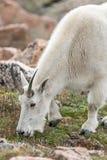 Pecore bianche del Big Horn - Rocky Mountain Goat Immagini Stock Libere da Diritti