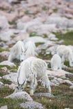 Pecore bianche del Big Horn - Rocky Mountain Goat Fotografie Stock Libere da Diritti