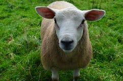 Pecore bianche di Goegeous in un campo erboso Fotografie Stock Libere da Diritti