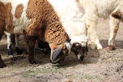 Pecore bianche e marroni che mangiano alimentazione animale Fotografia Stock