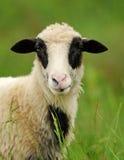 Pecore bianche in erba Fotografia Stock