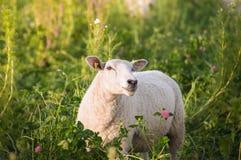 Pecore bianche in fiori del trifoglio Fotografia Stock Libera da Diritti