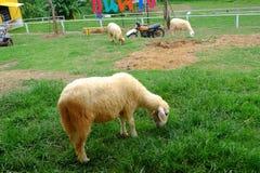 Pecore bianche nell'azienda agricola della natura Fotografia Stock Libera da Diritti