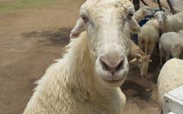 Pecore bianche nello zoo Immagini Stock Libere da Diritti