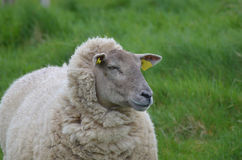 Pecore bianche splendide in una posizione a distanza Immagini Stock Libere da Diritti