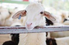 Pecore bianche in stalla fotografia stock libera da diritti