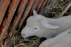 Pecore bianche su fieno in granaio Immagini Stock Libere da Diritti