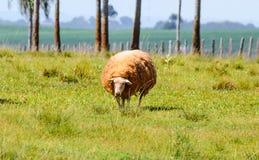 Pecore bianche sul pascolo dell'azienda agricola Fotografia Stock Libera da Diritti