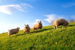 Pecore bianche sul pascolo soleggiato della molla Immagini Stock
