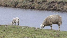 Pecore bianche sulla diga vicino al lago che pascono, pasqua archivi video