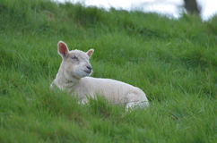 Pecore bianche sveglie che riposano in un campo Fotografia Stock