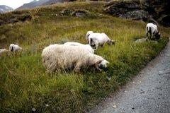 Pecore bianche in un campo di una montagna immagine stock