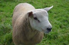 Pecore bianche in un campo erboso in Irlanda Immagine Stock Libera da Diritti