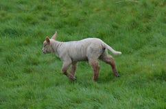 Pecore bianche in un Grassfield in Irlanda Immagini Stock Libere da Diritti