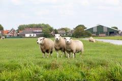 3 pecore bianche in un pascolo dell'erba immagine stock