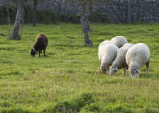 Pecore in bianco e nero Immagine Stock Libera da Diritti