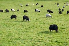Pecore in bianco e nero Immagine Stock