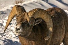 Pecore Bighorn Fotografie Stock Libere da Diritti