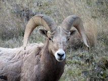 Pecore Bighorn Immagine Stock Libera da Diritti
