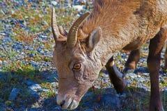 Pecore Bighorn Fotografia Stock