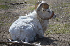 Pecore Bighorn Fotografia Stock Libera da Diritti