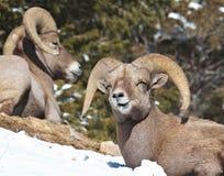 Pecore Bighorn Immagini Stock