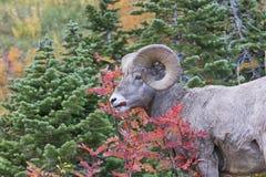 Pecore Bighorn che mangiano le bacche nella caduta Fotografie Stock Libere da Diritti