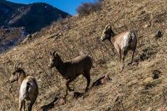 Pecore Bighorn in Colorado Fotografie Stock Libere da Diritti
