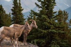 Pecore Bighorn nel parco nazionale di Banff - Canada Fotografia Stock Libera da Diritti