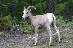 Pecore Bighorn nel selvaggio Immagini Stock Libere da Diritti