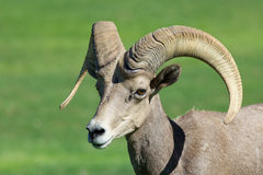 Pecore Bighorn Ram Close Up del deserto Fotografia Stock