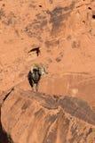 Pecore Bighorn Ram Walking del deserto Fotografia Stock