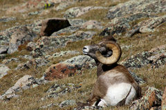 Pecore Bighorn in Rocky Mountains Immagine Stock