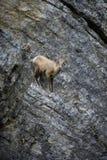 Pecore Bighorn su parete rocciosa Fotografia Stock Libera da Diritti