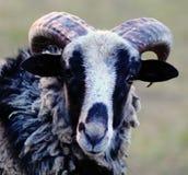 Pecore blu con i hornes Immagini Stock