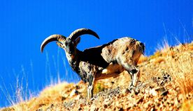 Pecore blu himalayane della valle magnificant di spiti Immagini Stock Libere da Diritti