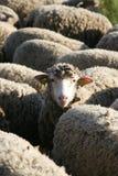 Pecore, campagna della Provenza Fotografia Stock Libera da Diritti